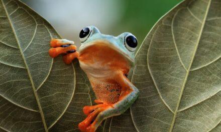 Žabe i kavijar